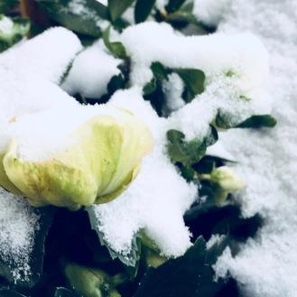 Helleborus - könnte ich im Winter unzählige von haben