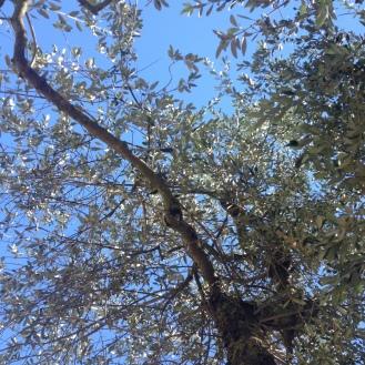 Olive vor toskanischem Himmel war jedenfalls toll
