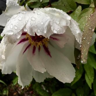 Die letzte Blüte der Baumpäonie - so schön!
