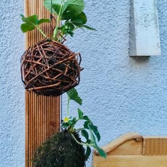 mein japanisches Erdbeerprojekt