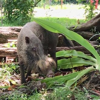 Bearded pig - keine Ahnung, wie die bei uns heißen